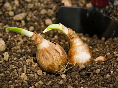 Plant Seeds Bulbs
